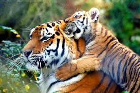 tiger_mother