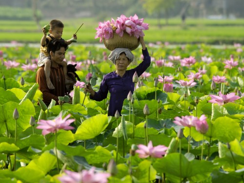 Dong Thap, the capital of lotus flowers.